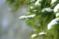 De takken van de de winterspar met sneeuw worden behandeld die Bevroren boomtak in de winterbos Stock Foto
