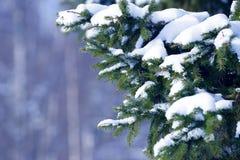 De takken van de de winterspar met sneeuw worden behandeld die Bevroren boomtak in de winterbos Royalty-vrije Stock Foto