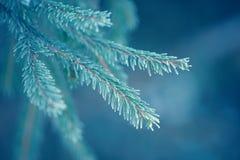 De takken van de de winterspar met sneeuw worden behandeld die Bevroren boomtak in de winterbos Stock Afbeelding