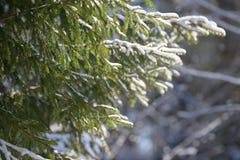 De takken van de de winterspar met sneeuw worden behandeld die Bevroren nette boomtak in de winterbos Stock Afbeelding