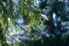 De takken van de de winterspar met sneeuw worden behandeld die Bevroren nette boomtak in de winterbos Stock Foto's