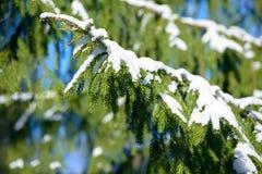 De takken van de de winterspar met sneeuw worden behandeld die Bevroren nette boomtak in de winterbos Stock Fotografie