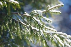 De takken van de de winterspar met sneeuw worden behandeld die Bevroren nette boomtak in de winterbos Royalty-vrije Stock Afbeelding
