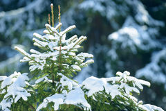 De takken van de de winterspar met sneeuw worden behandeld die Bevroren nette boomtak in de winterbos Stock Afbeeldingen