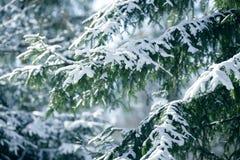 De takken van de de winterspar met sneeuw worden behandeld die Bevroren nette boomtak in de winterbos Royalty-vrije Stock Fotografie