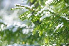 De takken van de de winterspar met sneeuw worden behandeld die Bevroren nette boomtak in de winterbos Royalty-vrije Stock Foto's