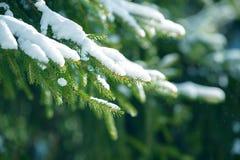 De takken van de de winterspar met sneeuw worden behandeld die Bevroren nette boomtak in de winterbos Royalty-vrije Stock Afbeeldingen