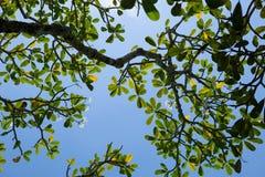 De takken van de Frangipaniboom tegen een blauwe hemel Royalty-vrije Stock Afbeeldingen