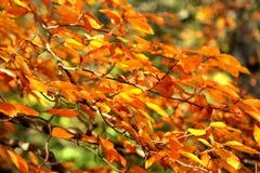 De takken van de herfst Stock Afbeeldingen