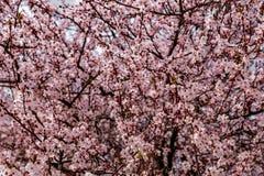 De takken van de kersenbloesem Royalty-vrije Stock Foto's