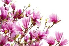 De Takken van de magnolia stock afbeelding