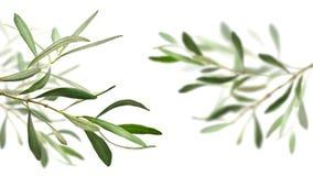 De takken van de olijfboom Royalty-vrije Stock Fotografie