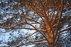 De takken van de pijnboom Royalty-vrije Stock Afbeelding