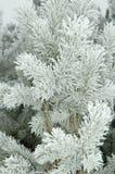 De takken van de pijnboom die door verse vorst worden behandeld Stock Fotografie