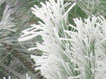 De takken van de pijnboom met sneeuw Stock Afbeeldingen