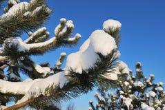 De takken van de pijnboom onder de sneeuw stock afbeeldingen