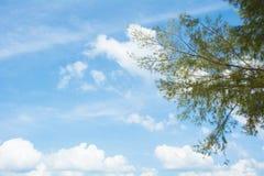 De takken van de pijnboomboom in zonnige dag Stock Foto