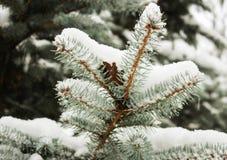 De takken van de spar die met sneeuw worden behandeld Stock Afbeelding