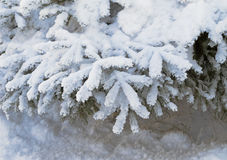 De takken van de sparren onder de sneeuw Stock Foto
