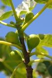 De takken van de vijgeboom tegen blauwe hemel Royalty-vrije Stock Foto's