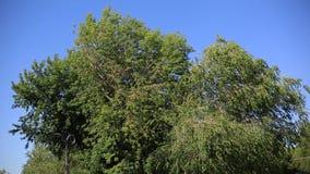 De takken van een boom met groene bladeren in een heldere Zonnige dag die in de wind tegen de blauwe hemel slingeren milieu stock footage