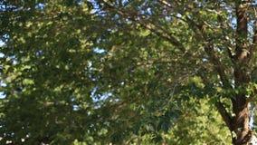 De takken van een boom met groene bladeren in een heldere Zonnige dag die in de wind tegen de blauwe hemel slingeren milieu stock video