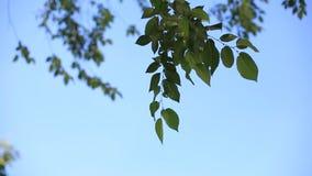 De takken van een boom met groene bladeren in een heldere Zonnige dag die in de wind tegen de blauwe hemel slingeren milieu stock videobeelden