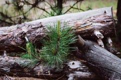 De takken van een jonge pijnboom groeien door een stapel van oude logboeken dichtbij een verlaten zaagmolen stock afbeelding