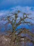 de takken van een oude boom tegen de hemel Stock Afbeelding