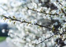 De takken van een tot bloei komende boom Kersenboom in witte bloemen stock fotografie