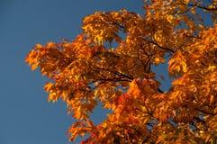 De takken van de esdoornboom Royalty-vrije Stock Afbeelding
