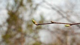 De takken van jonge berkboom ontluikt de aardlente Sluit omhoog stock video