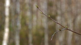 De takken van jonge berkboom ontluikt de aardlente Sluit omhoog stock footage