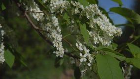 De takken van de kersenboom tijdens het bloeien tegen de blauwe hemelachtergrond stock footage