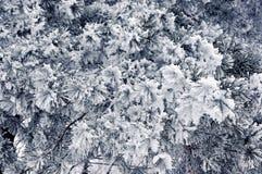 De takken van de pijnboom in de sneeuw Pijnboom in de winter Royalty-vrije Stock Fotografie