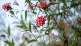 De takken van de Roze bloem die van struikpenta met groen bloeit verlaat gebladerte op blauwe hemel, weten als Panama en Rondelet royalty-vrije stock afbeelding