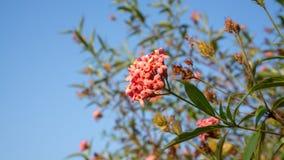 De takken van de Roze bloem die van struikpenta met groen bloeit verlaat gebladerte op blauwe hemel, weten als Panama en Rondelet stock fotografie