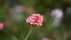 De takken van de Roze bloem die van struikpenta op onscherp groen bloeien verlaat gebladerte, weten als Panama en Rondeletia-leuc royalty-vrije stock foto