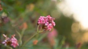 De takken van de Roze bloem die van struikpenta op onscherp groen bloeien verlaat gebladerte, weten als Panama en Rondeletia-leuc royalty-vrije stock foto's