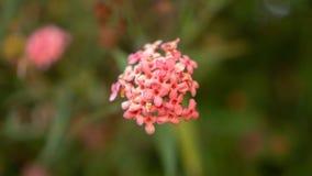 De takken van de Roze bloem die van struikpenta op onscherp groen bloeien verlaat gebladerte, weten als Panama en Rondeletia-leuc royalty-vrije stock afbeeldingen