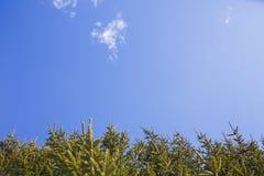 De takken van sparren tegen de blauwe hemel royalty-vrije stock afbeelding