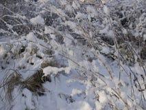 De takken van struiken in de sneeuw Stock Afbeelding