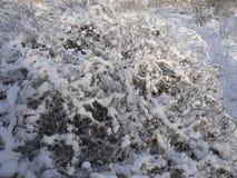 De takken van struiken in de sneeuw Stock Afbeeldingen