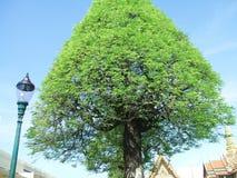 De tamarindeboom in Wat Phra Kaew Stock Foto's