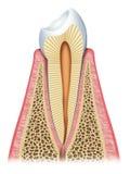 De tand stock illustratie