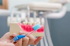 De tandarts toont tand het borstelen aan Royalty-vrije Stock Foto