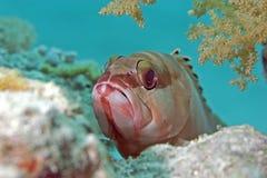 De tandbaars van Blacktip (epinephelusfasciatus) Stock Foto's