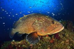 De tandbaars van Medeseilanden Stock Afbeelding