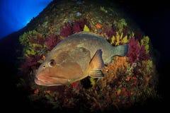 De tandbaars van Medeseilanden Royalty-vrije Stock Afbeeldingen