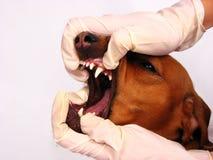 De tanden van de hond Stock Afbeeldingen